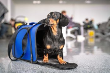 Obedient dachshund dog sits in blue pet carrier